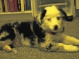 Miniature Australian Shepherd, 9 weeks, Blue Merle